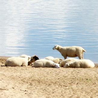 Schafe am Elbestrand im Wendland