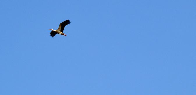 Storch im Wendland
