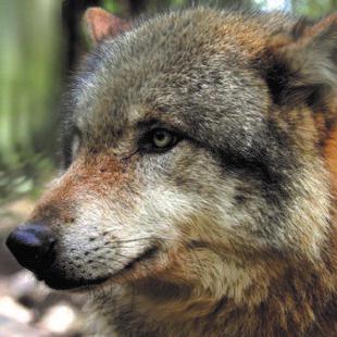 wolf_1_800